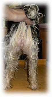 The back end of a wet black and white dog that is standing on a table. A person is pulling up the tail of the dog to show its straight legs.