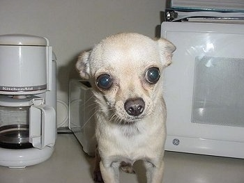 Close Up - A Chihuahua Puppy is standing on a countertop in front of a toaster a KitchenAid Coffee Maker and next to a GE Microphone