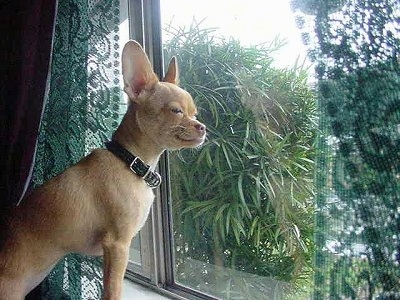 A tan Chihuahua is looking outside out of a window.