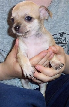 Spike the Chihuahua is being held close to a person who is wearing a gray t-shirt