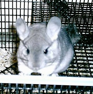 Close up front view - A Standard Grey Chinchilla is standing against a cage door. It is looking forward.