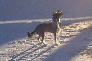 Bella the Chinese Crested hairless is standing in snow and looking up