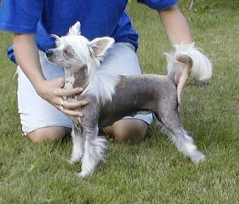 Archie Uni?ovska Brana the Chinese Crested hairless is being posed by a person in a blue shirt outside in a field