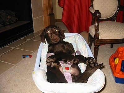A chocalate Labrador puppy is buckled up laying in a car seat on a floor inside of a house. There is a childs toy next to it.