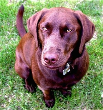 Close Up - A chocolate Labrador Retriever is sitting in grass and looking up with its green eyes squinted.