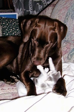 A chocolate Labrador Retriever is laying on a couch looking down over top of a white and gray kitten who is between its paws belly up pushing back against the dog.