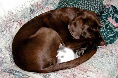 A chocolate Labrador Retriever is curled up sleeping on a couch with a grey and white kitten sleeping in-between its tail and legs.