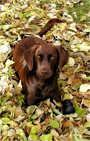 A chocolate Labrador Retriever is laying in leaves and looking up. There is a black rubber Kong toy next to it.