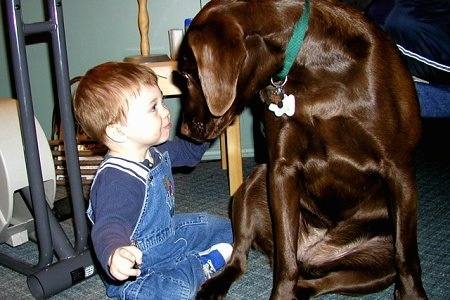 A chocolate Labrador Retriever is sitting on a carpet turned and looking face to face making eye contact with a male toddler that is sitting next to it on the floor.