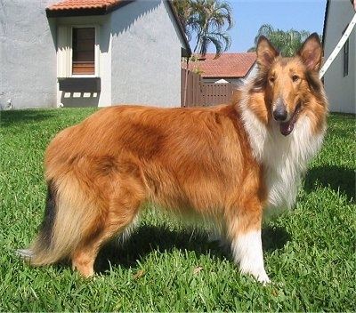 Right Profile - A Rough Collie is standing outside in a lawn with white houses with red clay roofs behind her