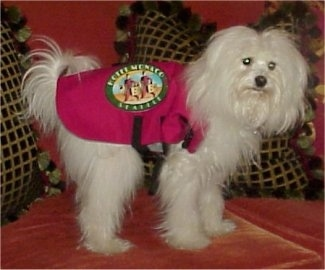 Yuki the Coton De Tulear uis wearing a hot pink vest while standing on a couch and looking forward