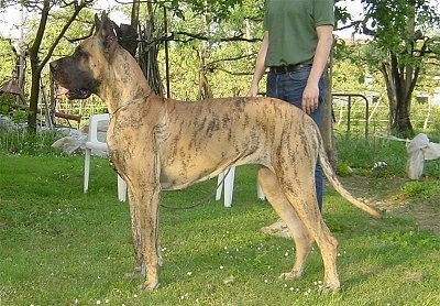 Left Profile - A brown brindle Great Dane is standing in grass with a person behind it. Its mouth is open. They are in a backyard with plastic lawn chairs next to them.