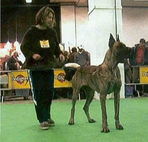 A brown brindle Great Dane is standing in a ring at a dog show with a lady holding its leash.