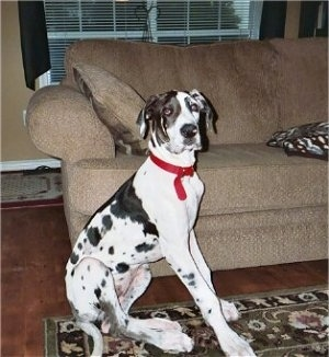 A white and black harlequin Great Dane puppy is sitting on a throw rug on a hardwood floor in front of a tan couch. There is a window with white blinds behind the couch.