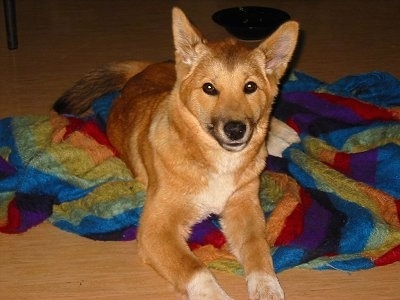 The Owner Of Lindy Nic Papalia Writes About His Pet Dingo