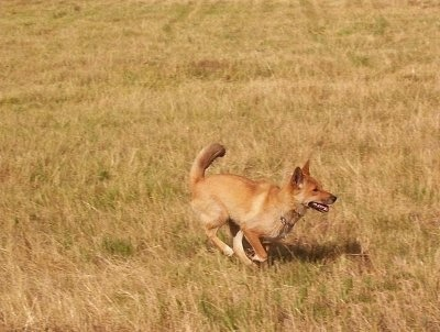 Lindy the Dingo is running through a field of tall brown grass