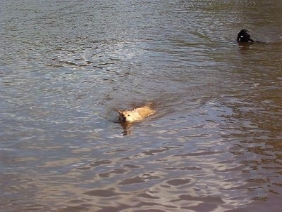 Lindy the Dingo is swimming in a body of water