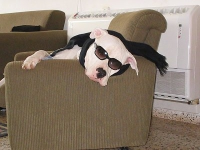 A white Dogo Argentino dog is sleeping in an arm chair. It is wearing a black scarf and sunglasses.