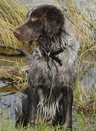 A Wet Deutscher Wachtelhunds is sitting in a mucky body of water and looking to the left