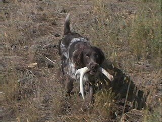 Allie Vom the A Deutscher Wachtelhund is running across a field with an antler in its mouth