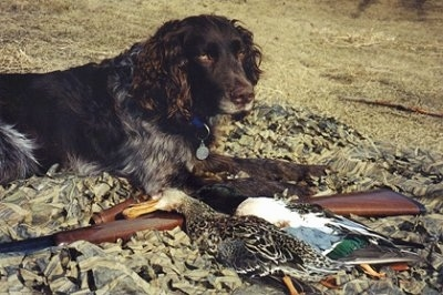 German Jake Vom Eagle River the Deutscher Wachtelhund dog is laying on the ground next to a gun and a dead duck in front of it