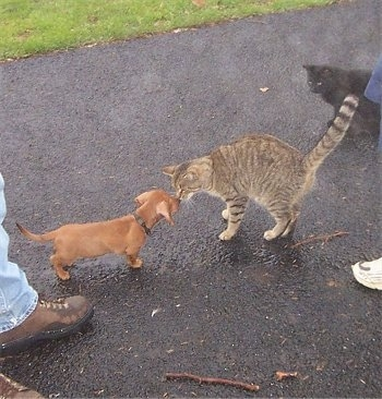 Dexter the Dachshund puppy and Tiger the cat are face to face in a driveway. There is a black cat behind Tiger