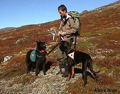 A Belgian Shepherd dog and a Doberman Pinscher dog are looking at a man holding an animal on the side of a mountain. The dogs have a backpack and a triangle over their backs.