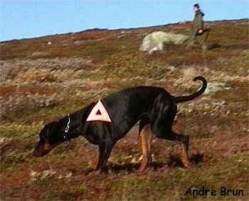 A Doberman Pinscher is walking across the side of a mountain. There is a white triangle on its side. There is also a person walking in the background
