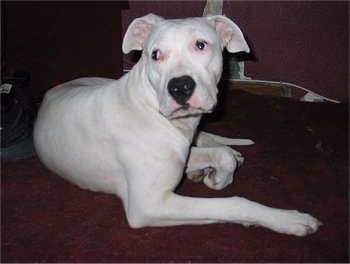 Modis Bubba el Cora the Dogo Argentino is laying on a carpet. There is a black shoe behind him.