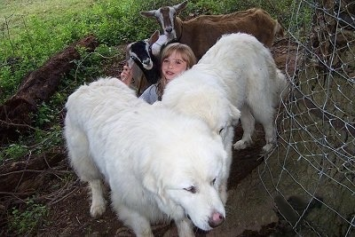 Two Great Pyrenees are next to a tree that has a wire fence around it and a blonde haired girl is sitting in between them with two goats behind her. The girl is holding onto one of the goats ears.