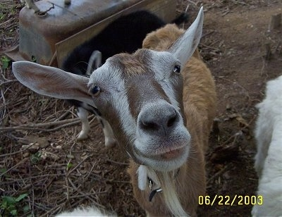 Close up head shot - A brown with white Goat is standing in dirt and it is looking up. Its mouth is slightly open and there is a baby goat behind it.