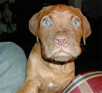 Dogue de Bordeaux (French Mastiff)  (Bordeaux Bulldog) Puppy Dogs