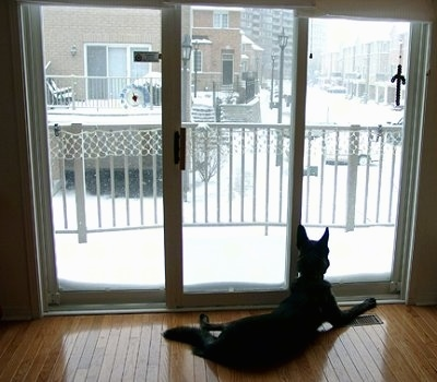 Gitzo the Dutch Shepherd is laying in front of a sliding door looking outside at all the snow. There are townhomes out the window.