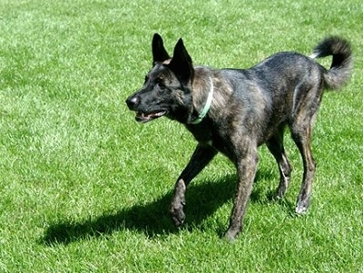 Gitzo the black brindle Dutch Shepherd is standing out in a grassy field and its head is down like he is waiting for a Frisbee to be thrown. His mouth is open