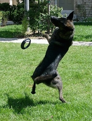 Action shot - Gitzo the Dutch Shepherd is jumping up to catch a frisbee. The frisbee is falling down in front of it