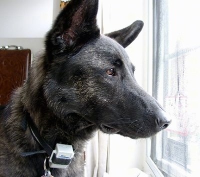 Close Up head shot - Gitzo the black brindle Dutch Shepherd is looking out of a window