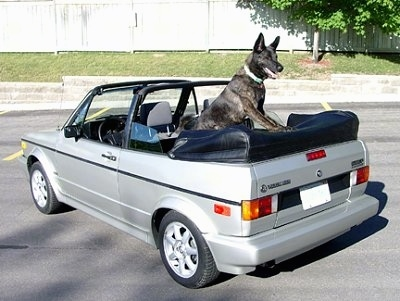 Gitzo the Dutch Shepherd is standing in the back of a silver VW Golf convertible with the top down