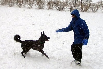 Gitzo the Dutch Shepherd is getting ready to jump at a snowball that is being tossed up by a person in a blue coat and blue gloves. There is snow on the ground and it is snowing in the picture.