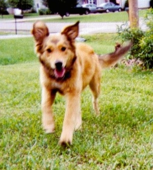 Airforce the tan English Shepherd is running across a yard