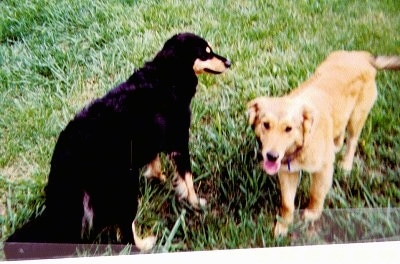 Tya the black and tan and Airforce the tan English Shepherds are standing outside in a field. Airforceis on the right and his mouth is open and tongue is out