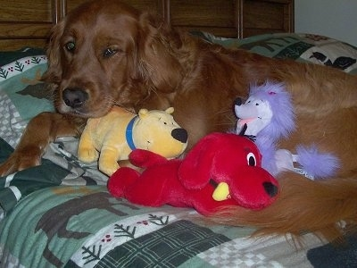 Emily the Golden Retrieveris laying on a bed. There is a Clifford, T-Bone and Cleo plushies on top of her.