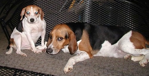 English Foxhound Dog Breed Information and Pictures