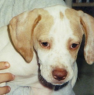 Close up head shot - A white with tan Pointer puppy is being held up in a persons arm. The puppy is looking down.