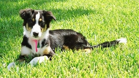 English Shepherd Puppy Dogs