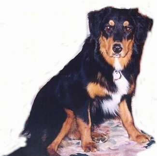 Gryffin the black, tan and white English Shepherd is sitting on a carpet and looking forward. The background was cut out, It is just a white layer