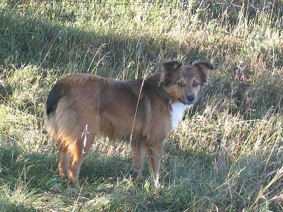 Back side view - A medium coated, brown with black and white English Shepherd dog is standing in grass and it is looking to the right of its body. The dog has a bob-tail.
