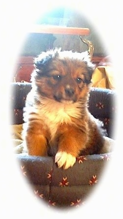 Sadie the English Shepherd puppy  is standing in a dog bed. There is a strong white vignette around the image