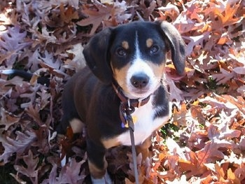 Entlebucher puppy is sitting in a field covered in leaves and looking up