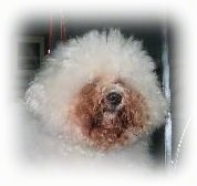 Close up head shot - A puffy haired white Bichon Frise with dark copper colored staining around its mouth and eyes.