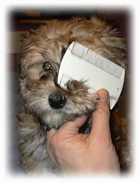 A Flea comb is being used on the face of a brown puppy.